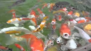 feeding some ornamental koi carp fish