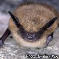 small bat bats of york