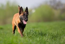 belgian malinois markings belgian shepherd malinois belgian malinois pinterest