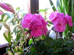 The Geranium On The Windowsill Just Died How I Prepare Geraniums For Winter Bloom