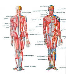Female Anatomy Organs Anterior And Posterior Parts Of The Body Male And Female