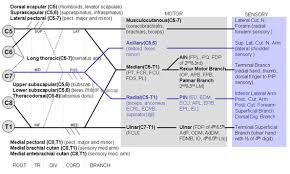 Innervation Of Supraspinatus Axillary Nerve Anatomy Orthobullets Com