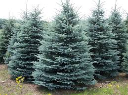 colorado trees for sale the tree center
