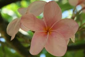 Fragrant Tropical Plants - pink frangipani plumeria rubra unrooted cutting fragrant tropical