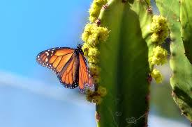 monarch butterfly on a cactus of lanzarote photo image nature