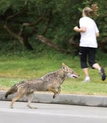 Coyote In My Backyard Coyotes In Lakewood