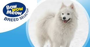 american eskimo dog japanese spitz difference meet the japanese spitz