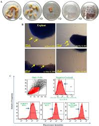 effect of hsa coated iron oxide labeling on human umbilical cord