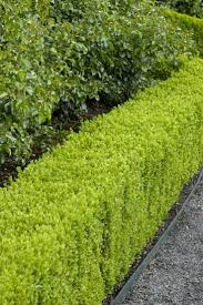 25 native plants for the top 10 best plants for hedges and how to plant them hedging