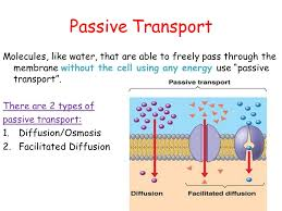 cellular transport and the cell cycle ppt download
