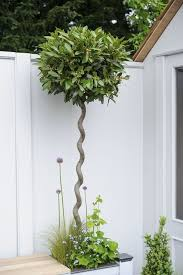 trees for small gardens laurus nobilis the bay tree will grow