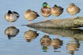 where have all the male ducks gone leighton moss leighton