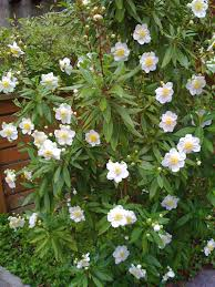 native california plants carpenteria californica california bush anemone an evergreen an