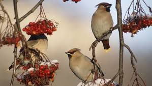 Ontario Backyard Birds 10 Berries That Birds Love Mnn Mother Nature Network