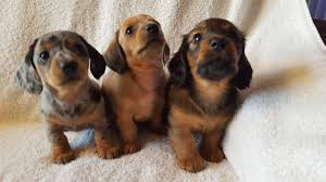 3 x stunningly adorable miniature dachshunds northampton