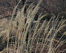 cutting back ornamental grasses whav