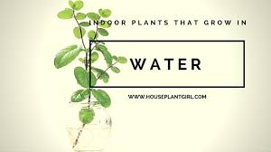 8 Houseplants That Can Survive by The Best Indoor Plants That Grow In Water