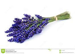 lavender bouquet lavender bouquet isolated stock image image of apothecary 31799341