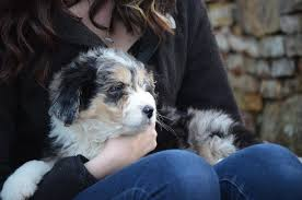 australian shepherd shedding best aussiedoodle puppies u2013 best aussiedoodle puppies in the southeast