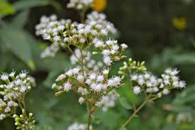 native virginia plants white snakeroot u2013 virginia wildflowers