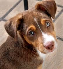 australian shepherd mastiff mix beagle australian shepherd mix dog photo happy dog heaven