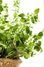 origan frais en cuisine origan frais dans un pot de fleurs photo stock image du ressort