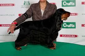 crufts australian shepherd 2014 english cocker spaniel dog show winners re crufts 2014 dog show