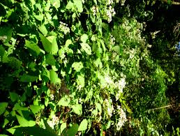 seneca snakeroot unlucky horseshoe endless streams and forests