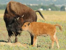 How Big Is The American Flag 15 Facts About Our National Mammal The American Bison U S