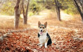 cute fall wallpaper hd cute corgi wallpaper 6784170