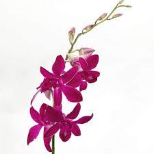 dendrobium orchids orchids dendrobium purple 70 stems sam s club