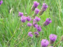 native prairie plants illinois prairie plantings improving your quality of life grimm u0027s gardens