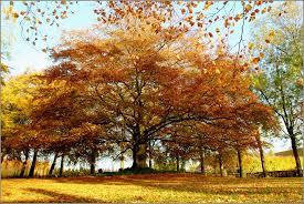 panoramio photo of majestic tree