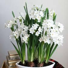 paperwhite flowers paperwhites nir paperwhites leafari