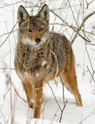 Can Coyotes See Red Light Coyote Mdc Discover Nature
