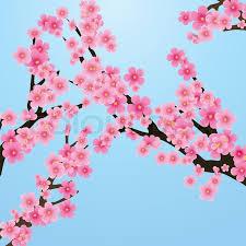 cherry blossom flowers of tree branch blue sky