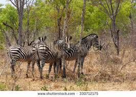 zebra tree stock images royalty free images vectors