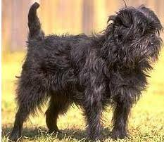 affenpinscher terrier mix affenpoo affenpinscher poodle mix info puppies temperament