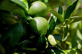 why your orange juice might be from brazil florida s trees are