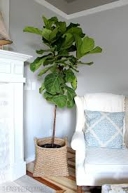 the tale of fiddle leaf fig fail confession the inspired room