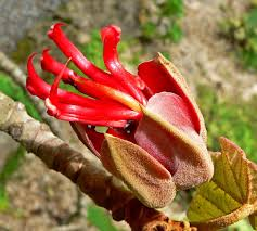 native mexican plants chiranthodendron wikipedia