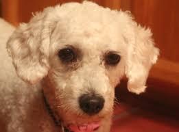 poodle vs bichon frise is she a poodle or bichon poodle forum standard poodle toy