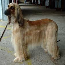 does an afghan hound shed afghan hound dog breed guide information and pictures