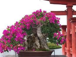 Bougainvillea Topiary - 442 best bougainvillea images on pinterest bonsai trees