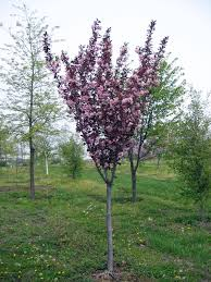 small ornamental trees small ornamental trees for small gardens