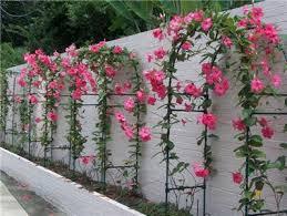 Mandevilla Plant Diseases - 1x pink mandevilla plant brazilian jasmine alamanda climber