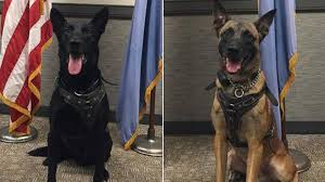 belgian malinois k9 attack meet the secret service dogs who took down white house fence