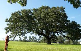 live oak tree naples