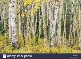 white birch trees in jasper national park alberta canada stock