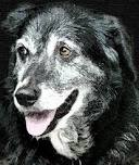 Older dog with gray hair